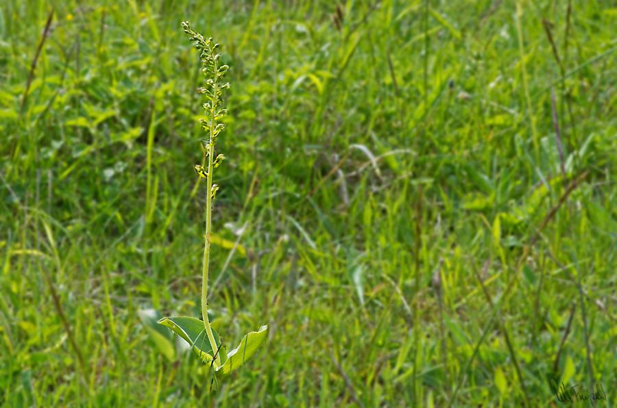Ægbladet fliglæbe