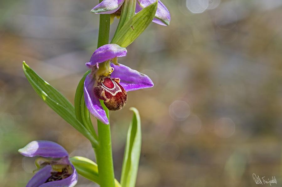 Orkidesamling