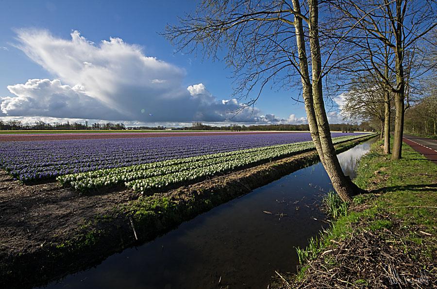 hyacintmarkengt